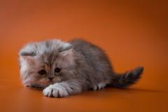 Σκωτσέζικο ευθύ μακρυμάλλες γατάκι που βρίσκεται στο πορτοκαλί υπόβαθρο Στοκ Φωτογραφίες