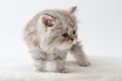 Σκωτσέζικο ευθύ μακρυμάλλες γατάκι που μένει τέσσερα πόδια Στοκ εικόνα με δικαίωμα ελεύθερης χρήσης