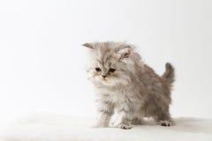 Σκωτσέζικο ευθύ μακρυμάλλες γατάκι που μένει τέσσερα πόδια Στοκ εικόνες με δικαίωμα ελεύθερης χρήσης
