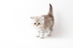 Σκωτσέζικο ευθύ μακρυμάλλες γατάκι που μένει τέσσερα πόδια Στοκ φωτογραφίες με δικαίωμα ελεύθερης χρήσης