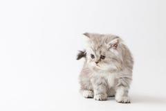 Σκωτσέζικο ευθύ μακρυμάλλες γατάκι που μένει τέσσερα πόδια Στοκ Εικόνες