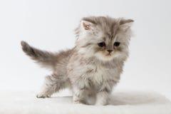 Σκωτσέζικο ευθύ μακρυμάλλες γατάκι που μένει τέσσερα πόδια Στοκ Εικόνα