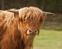 Σκωτσέζικο κεφάλι αγελάδων ορεινών περιοχών στην κινηματογράφηση σε πρώτο πλάνο Στοκ φωτογραφίες με δικαίωμα ελεύθερης χρήσης