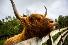 Σκωτσέζικο πορτρέτο αγελάδων ορεινών περιοχών στοκ εικόνες