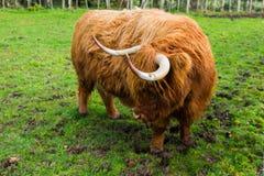 Σκωτσέζικο πορτρέτο αγελάδων ορεινών περιοχών στοκ φωτογραφία με δικαίωμα ελεύθερης χρήσης