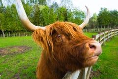 Σκωτσέζικο πορτρέτο αγελάδων ορεινών περιοχών στοκ φωτογραφίες