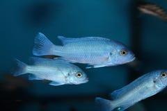 Σκόνη μπλε Cichlid Στοκ Εικόνα
