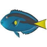 Σκόνη μπλε Surgeonfish Στοκ εικόνες με δικαίωμα ελεύθερης χρήσης