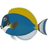 Σκόνη μπλε Surgeonfish Στοκ φωτογραφία με δικαίωμα ελεύθερης χρήσης
