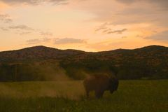 Σκόνη Buffalo μακριά Στοκ Εικόνες