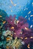 σκόπελος κοραλλιών goldfish τρ& Στοκ Εικόνες