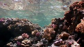 Σκόπελος της υποβρύχιας Ερυθράς Θάλασσας διάφορων κοραλλιών φιλμ μικρού μήκους