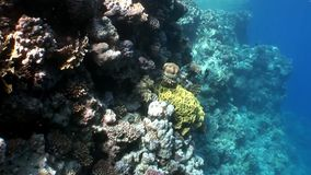 Σκόπελος της υποβρύχιας Ερυθράς Θάλασσας διάφορων κοραλλιών απόθεμα βίντεο