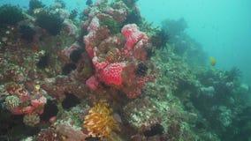 σκόπελος ψαριών κοραλλ&io Φιλιππίνες, Mindoro απόθεμα βίντεο