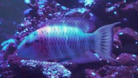 σκόπελος ψαριών κοραλλ&io απόθεμα βίντεο