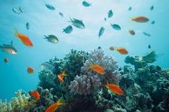 σκόπελος ψαριών scalefin Στοκ Φωτογραφία