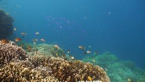 σκόπελος ψαριών κοραλλ&io Φιλιππίνες απόθεμα βίντεο