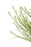 σκόρδο λουλουδιών οφθ& Στοκ Εικόνες