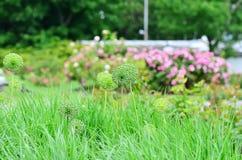 σκόρδο διακοσμητικό Στοκ φωτογραφία με δικαίωμα ελεύθερης χρήσης