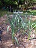 Σκόρδο στον κήπο Στοκ εικόνες με δικαίωμα ελεύθερης χρήσης