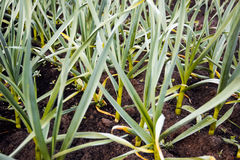 Σκόρδο στους φυτικούς κήπους Στοκ φωτογραφία με δικαίωμα ελεύθερης χρήσης