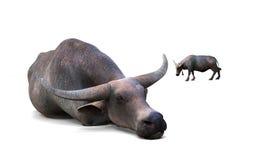 Σκύψιμο Buffalo Στοκ εικόνα με δικαίωμα ελεύθερης χρήσης