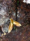 Σκώρος νύχτας πεταλούδων από την αιχμή του Adam ` s στοκ εικόνες