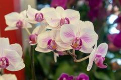 Σκώρος ορχιδέα-Phalaenopsis aphrodite Rchb φ Στοκ φωτογραφία με δικαίωμα ελεύθερης χρήσης