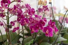 Σκώρος ορχιδέα-Phalaenopsis aphrodite Rchb φ Στοκ Εικόνες