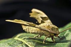 Σκώρος σε ένα πράσινο φύλλο. Μακροεντολή. Στοκ φωτογραφία με δικαίωμα ελεύθερης χρήσης
