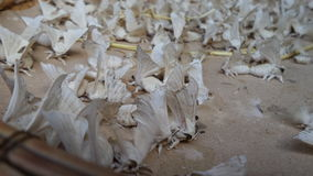 Σκώρος σκουληκιών μεταξιού Στοκ Φωτογραφίες