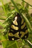 Σκώρος τιγρών κρέμα-σημείων - villica Epicallia Στοκ φωτογραφία με δικαίωμα ελεύθερης χρήσης