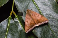 Σκώρος dotata Artena στο πράσινο φύλλο Στοκ Εικόνες