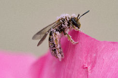Σκληρή μέλισσα εργασίας σε ένα ρόδινο λουλούδι Στοκ φωτογραφία με δικαίωμα ελεύθερης χρήσης