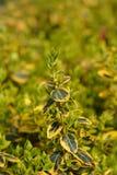 Σμάραγδος και χρυσός Wintercreeper στοκ εικόνα με δικαίωμα ελεύθερης χρήσης
