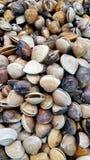 Σμάλτο Αφροδίτη Shell Στοκ Εικόνες