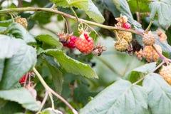 Σμέουρα που αυξάνονται στο αγρόκτημα Parkside Στοκ εικόνες με δικαίωμα ελεύθερης χρήσης