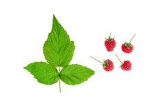 Σμέουρα - πράσινα φύλλα, μίσχος και ώριμα κόκκινα φρούτα, σε ένα άσπρο υπόβαθρο Στοκ φωτογραφίες με δικαίωμα ελεύθερης χρήσης