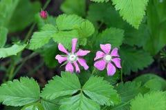 σμέουρο Δύο λουλούδια εγκαταστάσεων Στοκ εικόνα με δικαίωμα ελεύθερης χρήσης