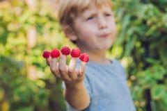 Σμέουρο επιλογής παιδιών Τα παιδιά επιλέγουν τους νωπούς καρπούς στο οργανικό raspbe Στοκ φωτογραφία με δικαίωμα ελεύθερης χρήσης