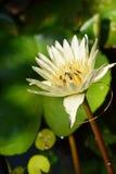 Σμήνος μελισσών στο λωτό στοκ εικόνα