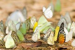 σμήνος πεταλούδων Στοκ εικόνες με δικαίωμα ελεύθερης χρήσης