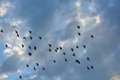 Σμήνος των περιστεριών που πετούν στο ηλιοβασίλεμα Στοκ φωτογραφία με δικαίωμα ελεύθερης χρήσης