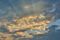 Σμήνος των περιστεριών που πετούν στο ηλιοβασίλεμα Στοκ Φωτογραφίες
