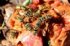 Σμήνος Hornets Gorging στη σάπια Apple Στοκ φωτογραφία με δικαίωμα ελεύθερης χρήσης