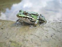 σμαραγδένιος βάτραχος Στοκ εικόνες με δικαίωμα ελεύθερης χρήσης