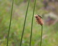 Σμαραγδένιος κάνθαρος τέφρα-borer στο λουλούδι στοκ εικόνα
