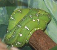 Σμαραγδένιο Boa δέντρων φίδι στοκ φωτογραφίες με δικαίωμα ελεύθερης χρήσης