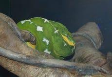 Σμαραγδένιο Boa δέντρων φίδι στοκ εικόνα με δικαίωμα ελεύθερης χρήσης