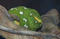 Σμαραγδένιο Boa δέντρων φίδι στοκ φωτογραφίες